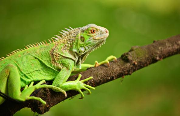 iguana-awarness-day